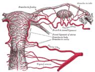 Méh (anatómia)