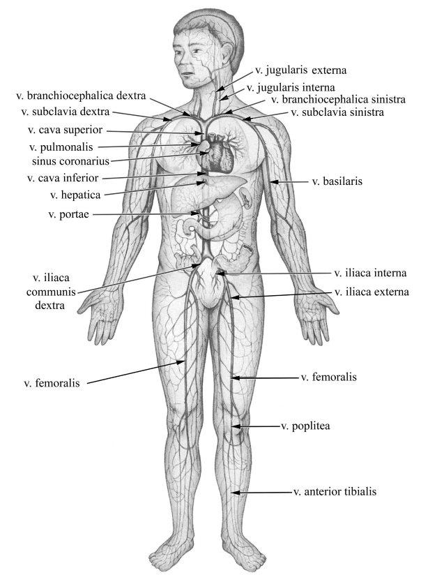 A lábszár: vénák teljes vizsgálata: okai, kezelése, prognózisa - Thrombophlebitis