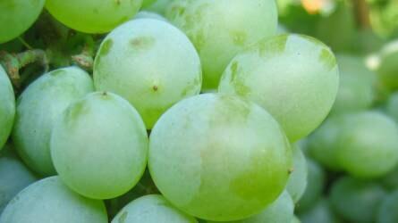 szőlővel történő visszérkészítmények)