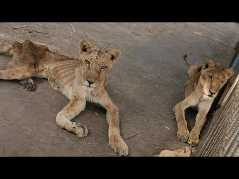 visszér oroszlánok)