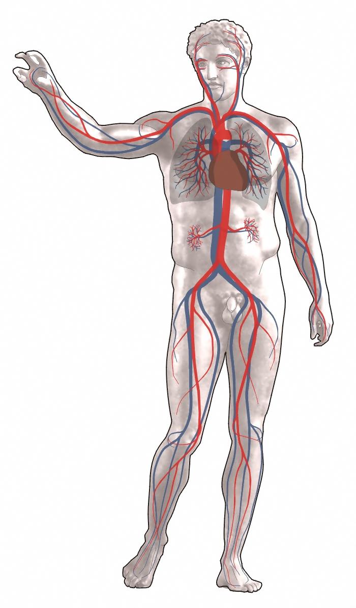 az aorta visszér