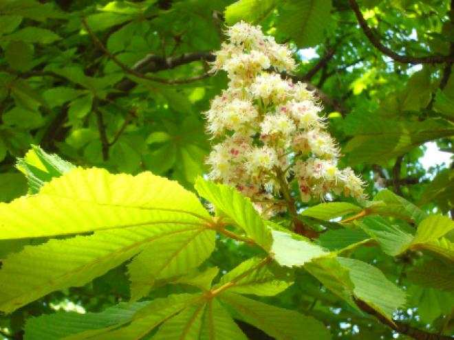 a visszér gyógyító növény