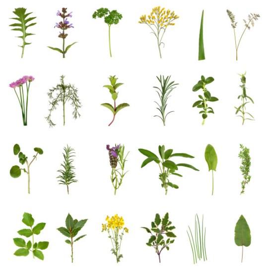 gyógynövények, melyeket nem szabad visszérrel inni)