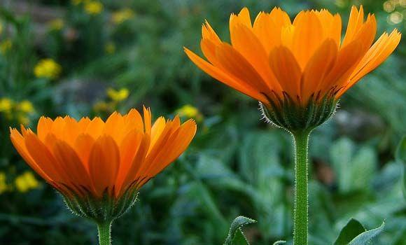 Best visszér images in | Egészség, Gyógynövények, Természetgyógyászat