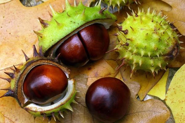 tinktúra visszeres gesztenye gyümölcséből pakolások a hasra visszérrel