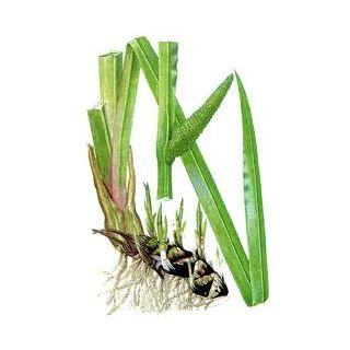 Orvosi kálmos - Acorus calamus - Zöldszerész