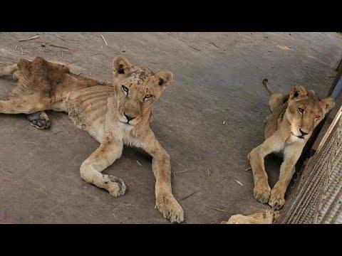 visszér oroszlánok lehetséges-e sófürdők használata a visszér ellen