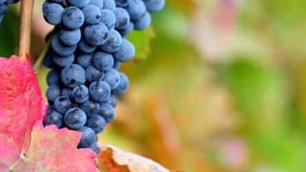 szőlővel történő visszérkészítmények