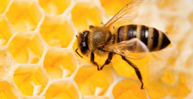 hogyan segít a méz a visszérben