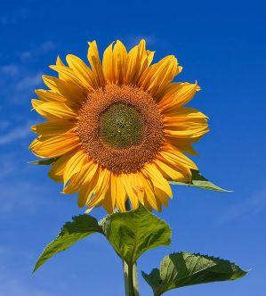 Liavit Napraforgó Lecitin | Collagen recipes, Sunflower lecithin, Bai bottle