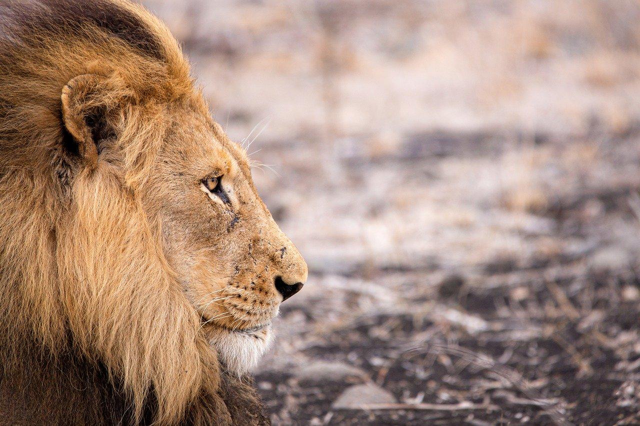 visszér oroszlánok a krém megszabadult a visszérektől